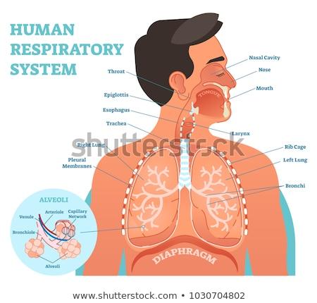 légzési · test · gyógyszer · rajz · férfi · mellkas - stock fotó © bluering