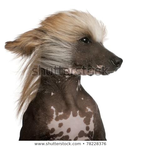Chińczyk psa głowie portret oka szczęśliwy Zdjęcia stock © vauvau