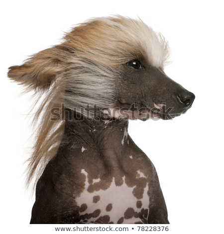 Chinese crested dog head portrait indor Stock photo © vauvau