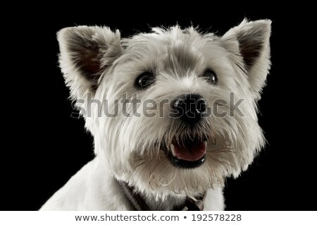 west highland white terrier waching in a studio with dark background stock photo © vauvau