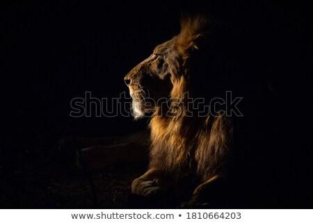 サイド プロファイル 男性 ライオン 公園 南アフリカ ストックフォト © simoneeman