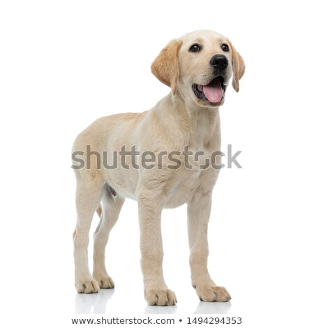 full body picture of a labrador retriever dog standing Stock photo © feedough