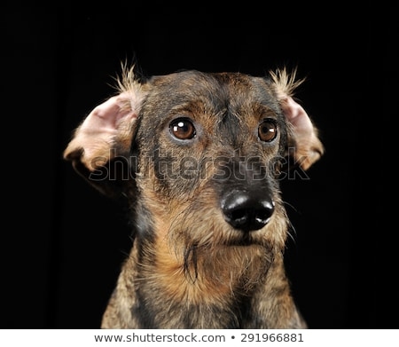 wired hair dachshund with twisted ears portrait in a black photo stock photo © vauvau