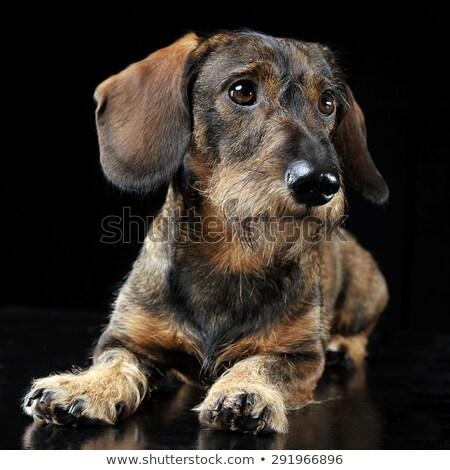 Wired hair dachshund lying in a black photo studio Stock photo © vauvau