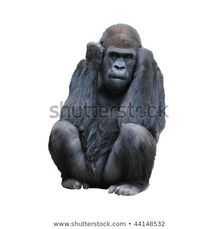 Gray gorilla on white background Stock photo © bluering