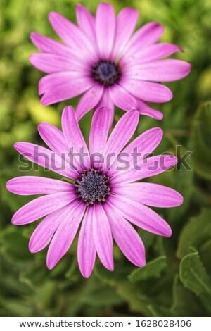 violeta · margarida · tempestade · preto · natureza · verão - foto stock © stefanoventuri