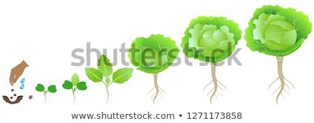 Kapusta rozwój gleby charakter rolnictwa warzyw Zdjęcia stock © IS2