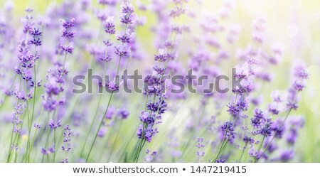Lavender Morning Stock photo © hlehnerer