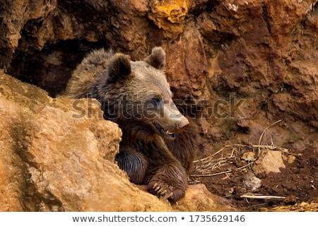 Grizzly medve barlang illusztráció erdő természet tájkép Stock fotó © colematt