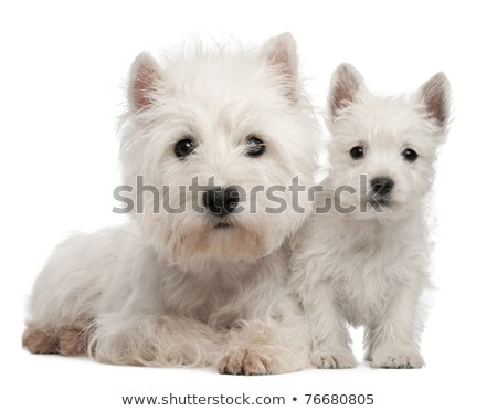 Foto stock: Dos · cute · oeste · blanco · terrier