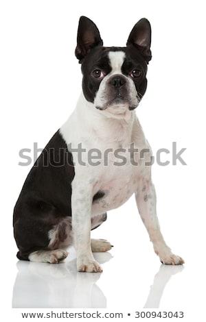 Boston · terrier · cão · sorrir · cabelo · retrato - foto stock © dnsphotography
