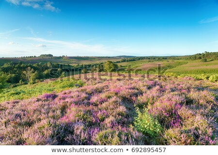 New Forest Heather in Bloom Stock photo © flotsom