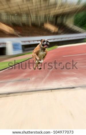 boxer breed running on sport track Stock photo © taviphoto