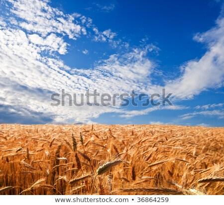 ouro · orelhas · trigo · céu · macio · foco - foto stock © mycola