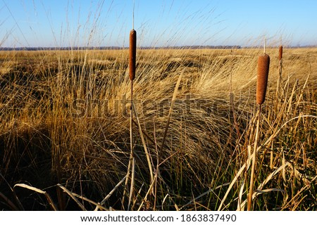 Ditch with Bulrush Stock photo © ivonnewierink