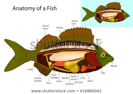 fish Gills isolated Stock photo © sapegina