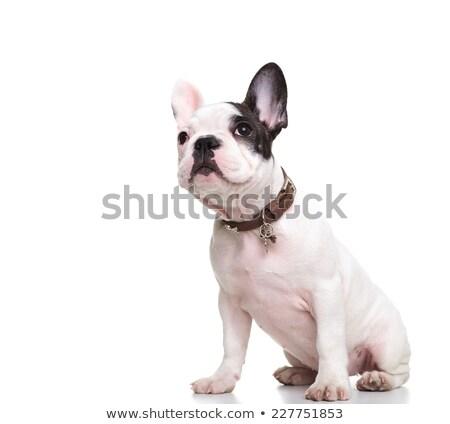 Curioso francés bulldog sesión mirando lado Foto stock © feedough