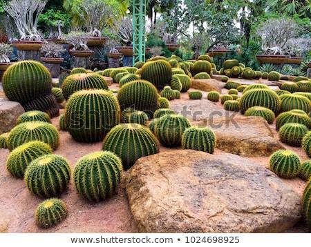 Detalle cactus naturaleza desierto verde hermosa Foto stock © boggy