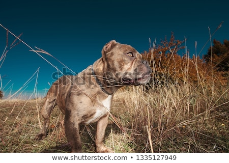 side view of American bully standing in a field Stock photo © feedough
