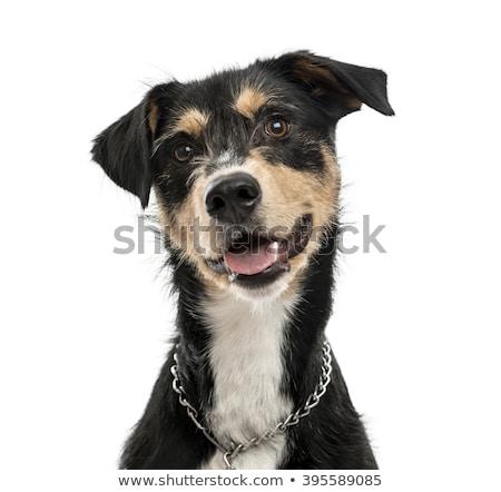 Sluiten gemengd ras honden mond Stockfoto © vauvau