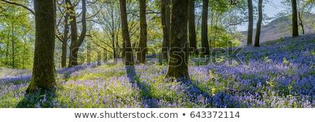 Spring woodland Stock photo © trgowanlock