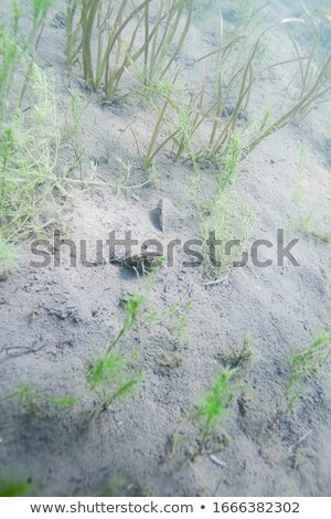 mussel in pond Stock photo © phbcz