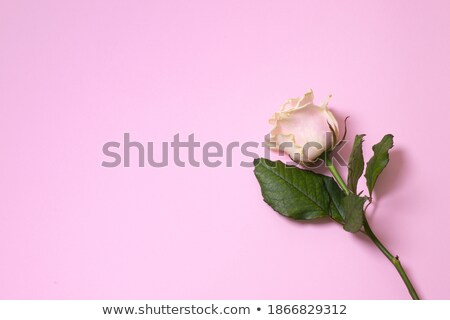 One pink rose and message-card Stock photo © boroda
