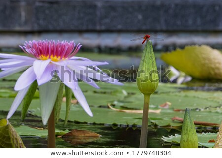 Libellule haut rose Lotus sombre Photo stock © nuttakit
