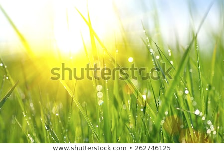 Lata trawy zielone makro obraz charakter Zdjęcia stock © ryhor