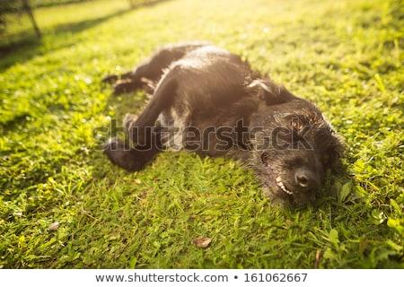 Aranyos kutya fű késő délután napsütés Stock fotó © lightpoet