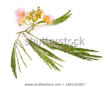 Persian silk tree flower Stock photo © varts