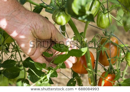 man in greenhouse care about tomato plant stock photo © adamr