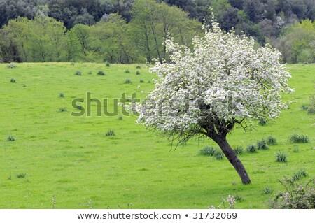 Pereira árvores floresta céu Foto stock © Andriy-Solovyov