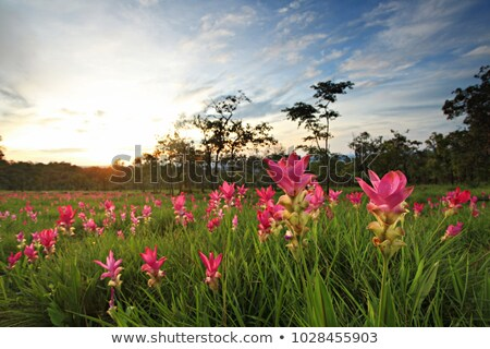 Field of siam tulip flowers Stock photo © scenery1