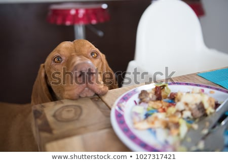 domestic dog begging for food Stock photo © taviphoto