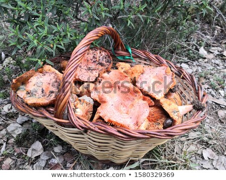 man with a basket full of red pine mushrooms stock photo © nito