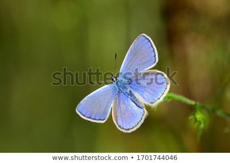 Foto stock: Azul · borboleta · pequeno · família · flor · beleza