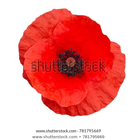 Poppy flower Stock photo © Taigi