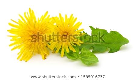 Sarı karahindiba çiçek yalıtılmış beyaz bitki Stok fotoğraf © doupix