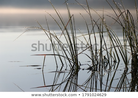 reeds on the river stock photo © givaga