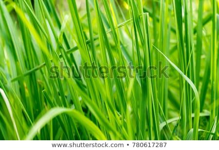Stok fotoğraf: Yeşil · bitkiler · mavi · gökyüzü · gökyüzü · arka · plan · yaz