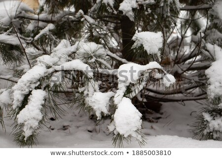part of fir tree with snow in January Stock photo © ssuaphoto
