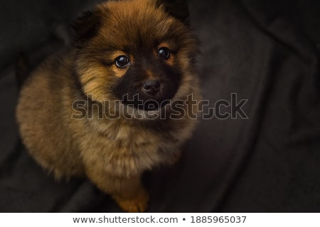 Chow chow in a gray photo studio stock photo © vauvau
