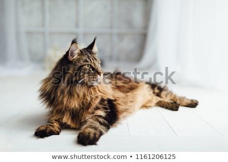 Maine · macska · kutyakölyök · rottweiler · portré · fajtiszta - stock fotó © svetography