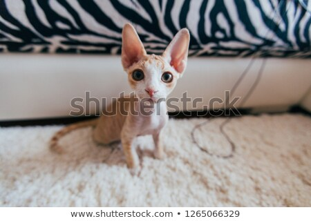 Devon Rex. Portrait on a white background Stock photo © EwaStudio