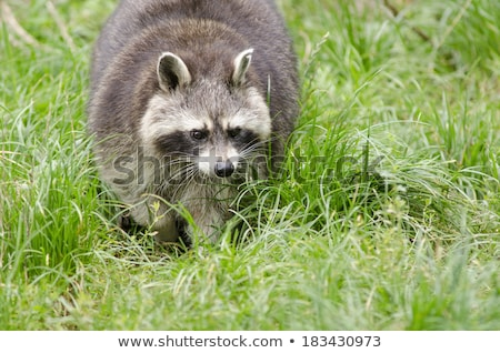 Stock photo: Raccoon walking through a green meadow