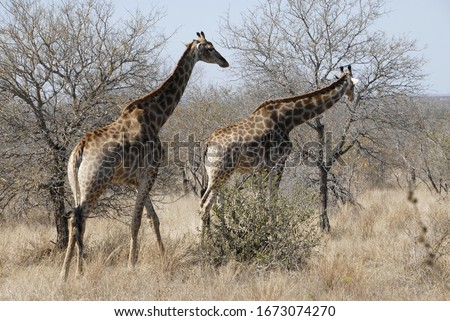 Жирафы · резерв · парка · Африка · животного · природы - Сток-фото © compuinfoto