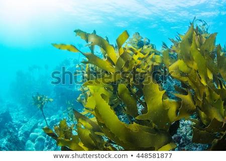 Yeşil deniz yosunu deniz kayalar İskoçya plaj Stok fotoğraf © michaklootwijk