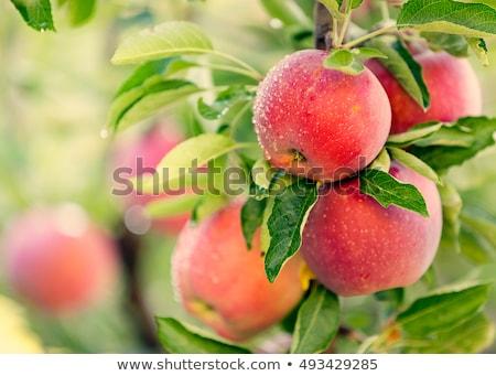 piros · almák · érett · szőlőszüret · gyümölcsös · tele - stock fotó © artush