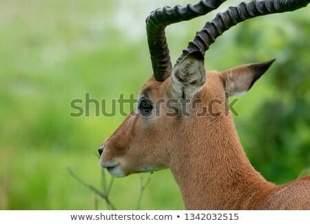 Male Impala from the side. Stock photo © simoneeman
